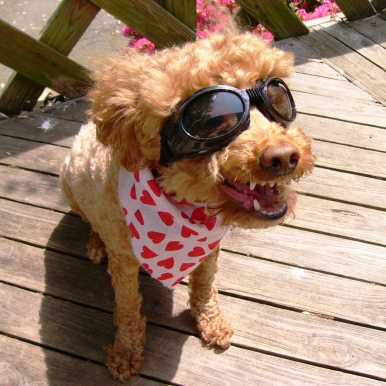 Laughing_dog_with_googles